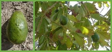 AAS_Cultivo de Aguacate